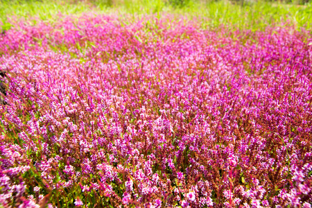 Rotala rotundifolia in nature photo