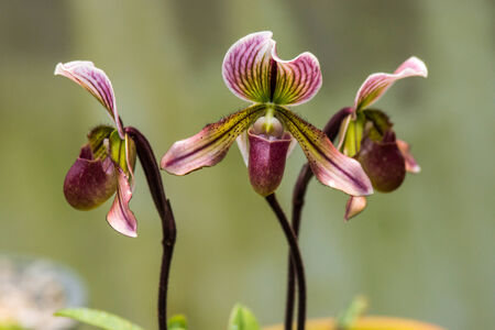 Paphiopedilum Collosum plantation photo
