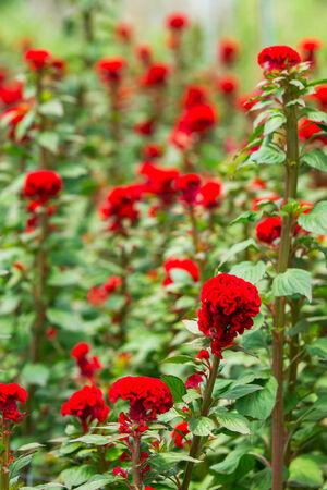 cockscomb: Cockscomb Flower Plantation