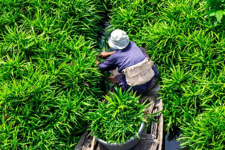 pandanus: Pandanus Leaf Harvesting