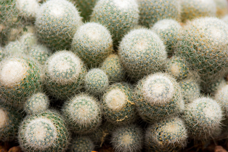 Hedgehog Cactus photo