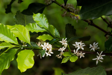 Coffee Flowering photo
