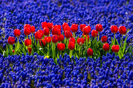 red tulips in field of blue flowers stock photo picture and royalty