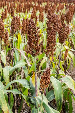 sorgo: plantaci�n de sorgo