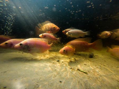 Red Tilapia Underwater Foto de archivo