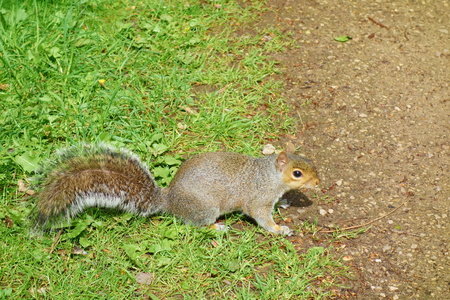 Grey Squirrel posing for a photo in Nottingham University park, UK