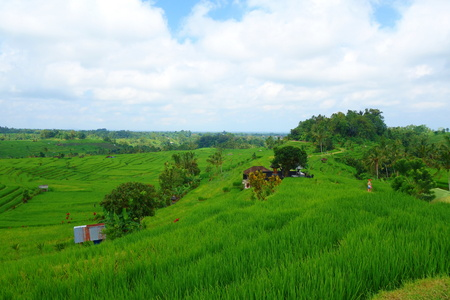 Countryside of Bali filled with Rice Terraces and palm trees, Jatiluwih , Indonesia, South-East Asia