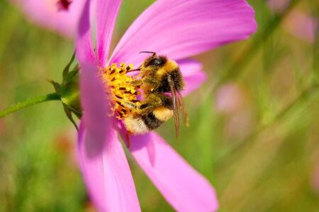 farina: Humble-bee gathers farina and makes honey from it.