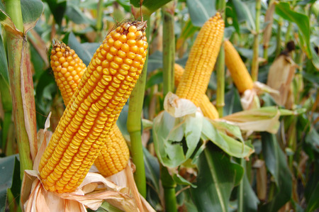 mais: Ears of mais are almost ready for harvesting and give good yiel