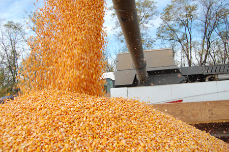 financial stability: Rich yield of corn allows be sure in financial stability for farmers Stock Photo