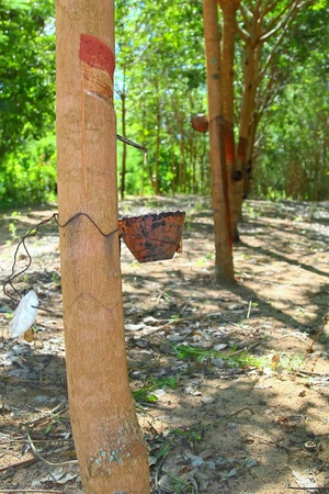 extracted: Extracted the rubber latex from rubber trees.