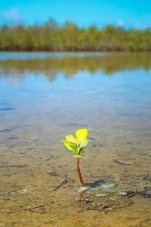 mangrove forest: mangrove seedling