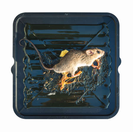 Rat or mice trapped on mousetrap isolated on white background. That animal gets stuck on sticky glue spread over black square plastic tray, pad or board with bait or bread.