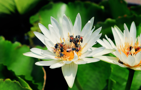 Bijen in de lotusbloem.