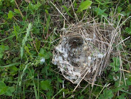 A ruined bird's nest. Nest lies on the grass. 版權商用圖片