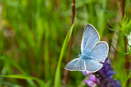 Blue butterfly on the grass. Macro photography.