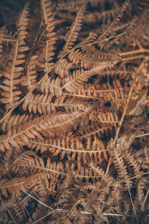 road autumnal: Dry fern texture and background. Abstract texture and background for designers. Macro view of dry fern leaves. Organic texture and background. Dry fern leaves in the forest.