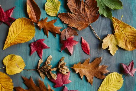 fallen: Autumn leaves background. Texture of fallen leaves. Colorful leaves on a blue wooden background. Abstract background and texture for designers.