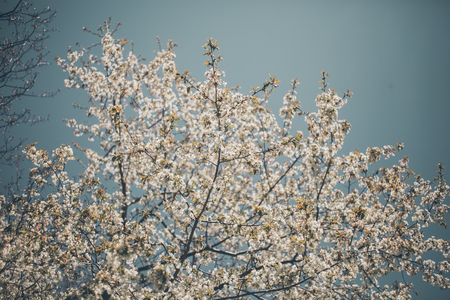 almond trees blooming almond tree branches full of flowers stock
