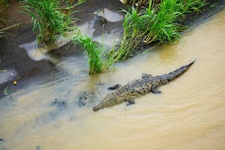 Huge crocodile in Tarcoles River in Costa Rica