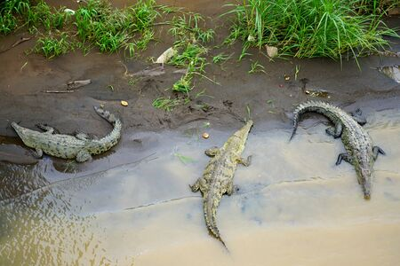 Group of three crocodiles in Tarcoles River in Costa Rica Archivio Fotografico