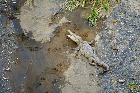 Crocodile eating in Tarcoles River in Costa Rica Archivio Fotografico