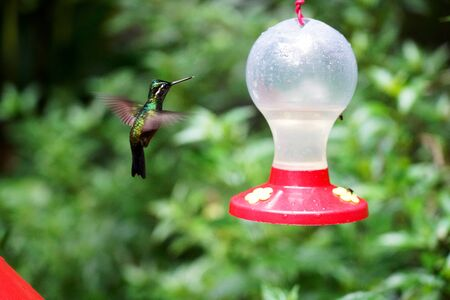 Hummingbird flying and eating in Costa Rica garden
