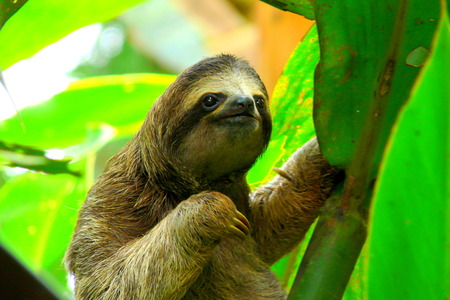 forests: Sloth in Puerto Viejo, Costa Rica.