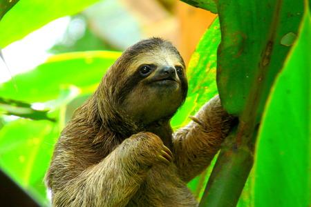 costa rica: Sloth in Puerto Viejo, Costa Rica.