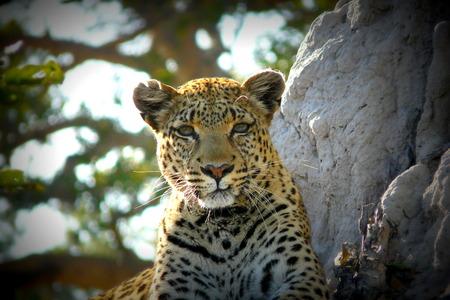 Leopard's portrait in Pom Pom Island, Okavango Delta, Botswana, Africa