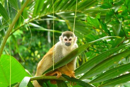 manuel: Squirrel Monkey in Manuel Antonio National Park, Costa Rica Stock Photo