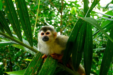Squirrel monkey in Manuel Antonio National Park, Costa Rica