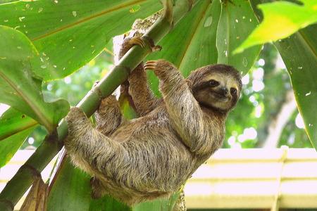 costa: Sloth in Puerto Viejo, Costa Rica.