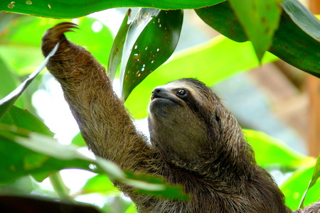 the young animal: Sloth in Puerto Viejo, Costa Rica.