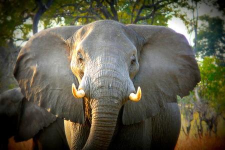 pom: African elephant in Okavango delta, Botswana, Africa