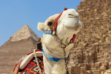 chephren: Portrait of an african camel with the pyramids of Giza on soft background Stock Photo