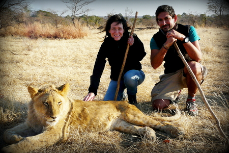 contributing: A couple of young adults walk with lions contributing to a local reservation wildlife program close to Victoria Falls in Zimbabwe.
