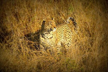 okavango delta: Leopard in Pom Pom Island, Okavango delta, Botswana, Africa