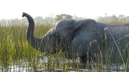 okavango delta: Elephant crossing a river in Pom-Pom Island, Okavango delta, Botswana, Africa. Stock Photo