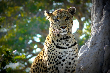 okavango delta: Leopard in Pom-Pom Island, Okavango delta, Botswana, Africa
