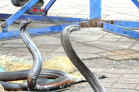 charmed: Egyptian cobras Naja haje charmed by a bereber male at Djemaa el Fna square, Marrakech, Morocco Stock Photo