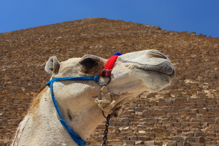 saddle camel: Portrait of an african camel with the pyramids of Giza on soft background.