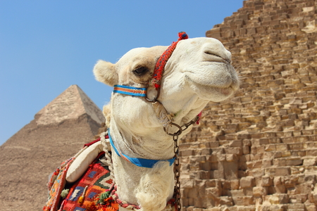 chephren: Portrait of an african camel with the pyramids of Giza on soft background.