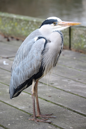 grey heron: Portrait of a lonely Grey Heron in Hyde Park, London, United Kingdom.