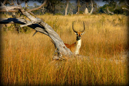 africa kiss: Lonely Impala facing the photographer in Okavango Delta, Moremi Crossing lodge, Botswana, Africa.