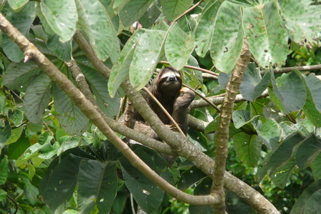 toed: Three toed sloth resting over a branch close to Canopy Tower lodge, Soberania National Park, Panama. Stock Photo