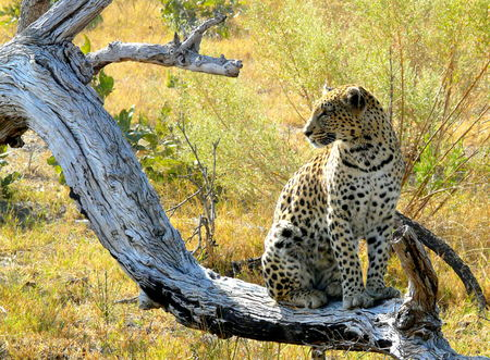 okavango delta: Female leopard placed over a little hill watching for animals to hunt, Pom-Pom Island, Okavango delta, Botswana, Africa