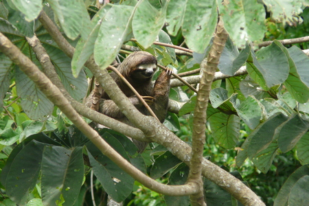 Three toed sloth resting over a branch close to Canopy Tower lodge, Soberania National Park, Panama. Stock Photo