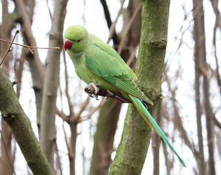 naturalized: A ring-necked parakeet, resting over a tree in Hyde Park, London Stock Photo