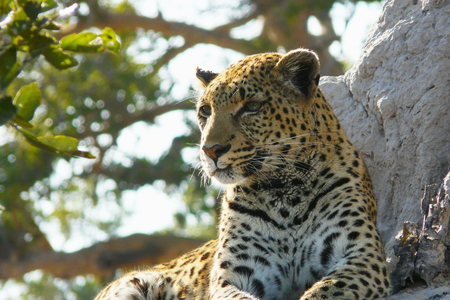 okavango delta: Lonely female leopard waits quiet over a hill looking for her pray in Pom-Pom Island private game reserve, Okavango delta, Botswana, Africa.